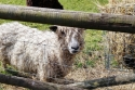 Aberfoyle sheep closeup.jpg