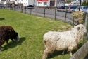 Aberfoyle sheep.jpg